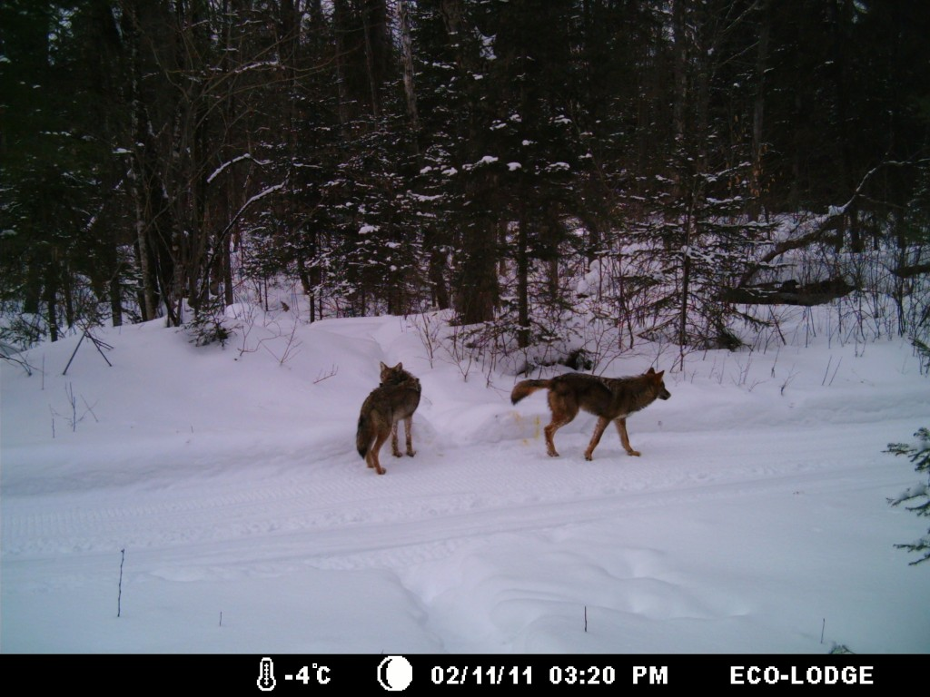 Wolves on Ski Trail