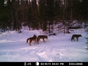 Wolves at Algonquin Eco-Lodge